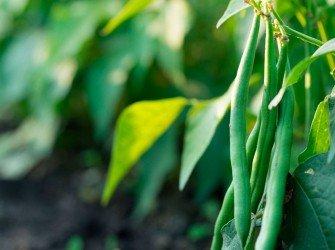 Tratamento Nutricional para Feijão Aumente a produtividade da sua lavoura com o nosso tratamento