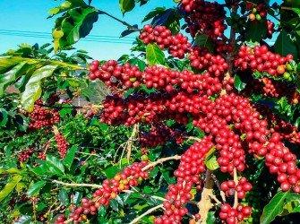 Tratamento Nutricional para Café Aumente a produtividade da sua lavoura com o nosso tratamento