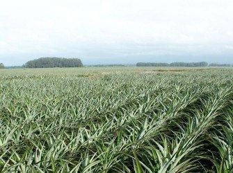 Tratamento Nutricional para Abacaxi Aumente a produtividade da sua lavoura com o nosso tratamento