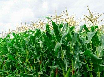 Tratamento Nutricional para Milho Aumente a produtividade da sua lavoura com o nosso tratamento