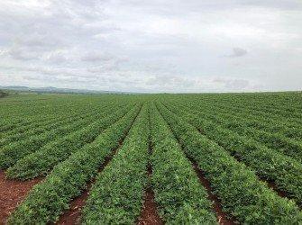 Tratamento Nutricional para Amendoim  Aumente a produtividade da sua lavoura com o nosso tratamento