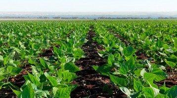 Feijão: Clima pode aumentar área de plantio em 2021