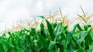 Falta de chuvas frustra a produção de milho em Santa Catarina